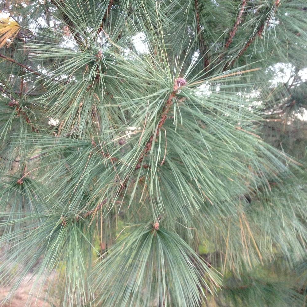 - Pinus leiophylla var. chihuahuanachihuahua pine