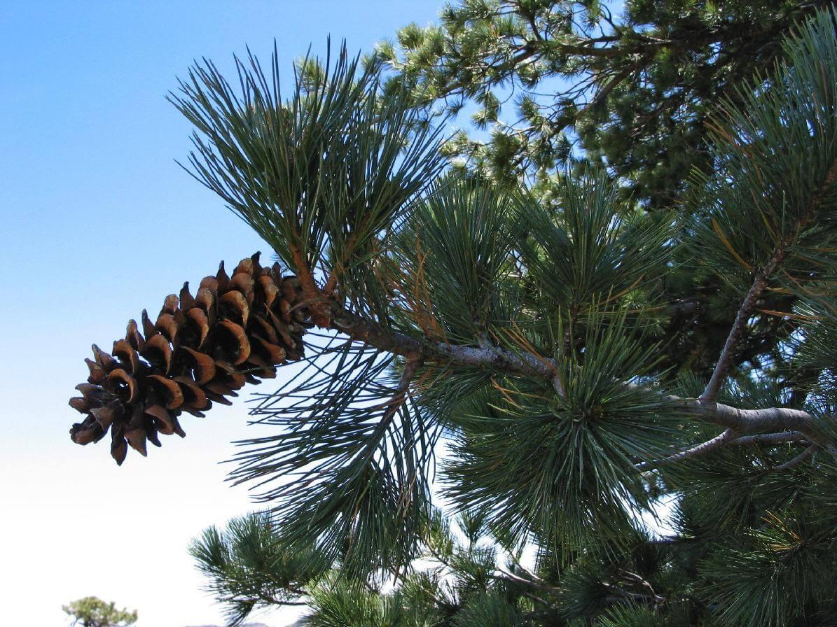 - Pinus strobiformissouthwestern white pine