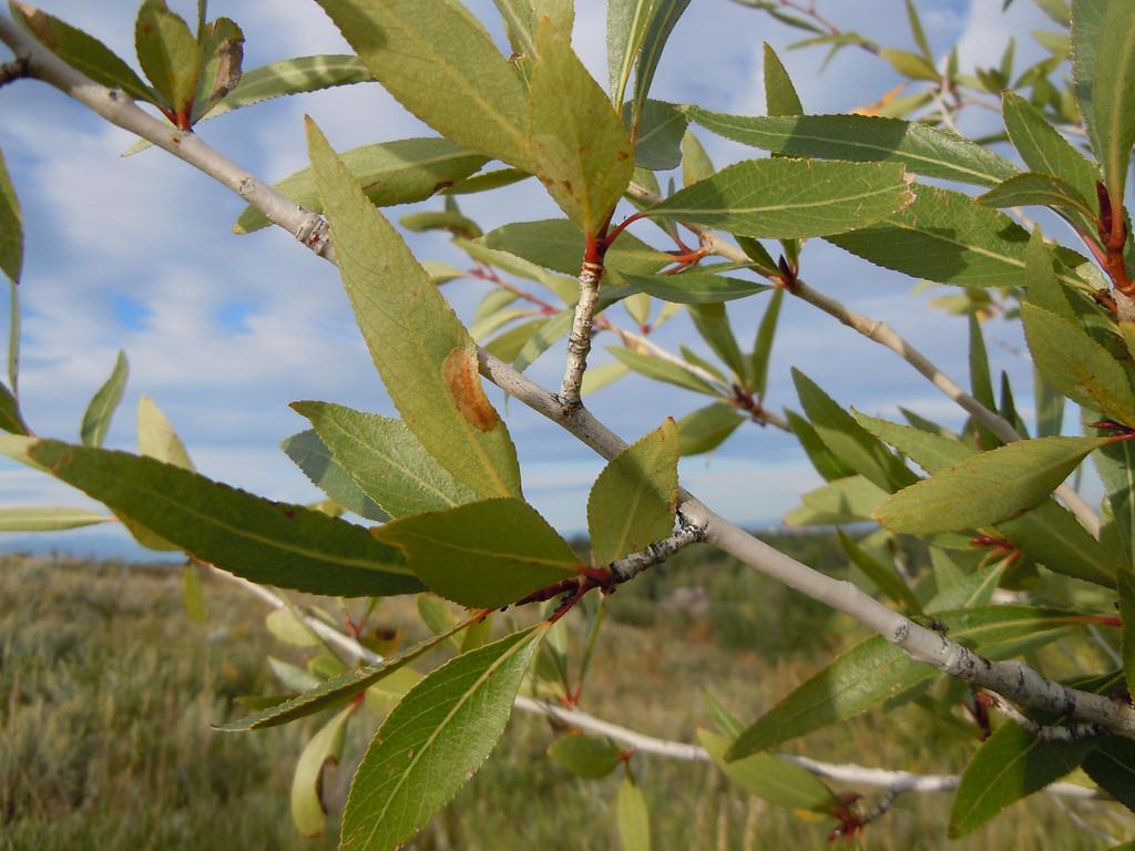 - populus angustifolianarrow-leaf cottonwood