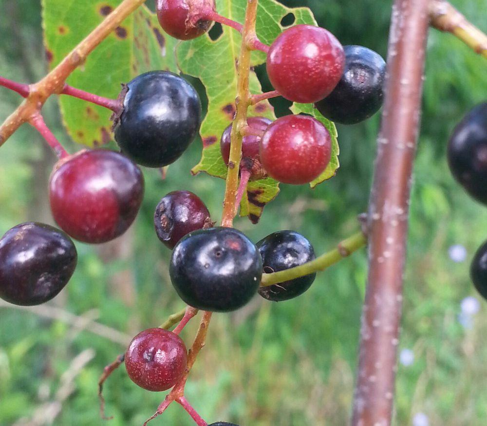 - Prunus specieschoke cherries