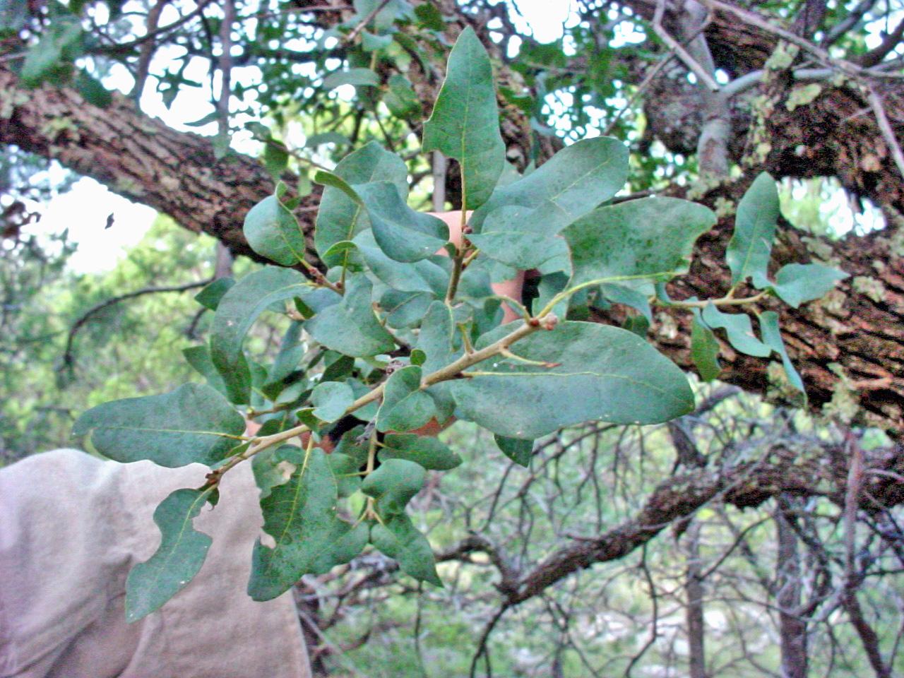 - quercus arizonicaarizona white oak