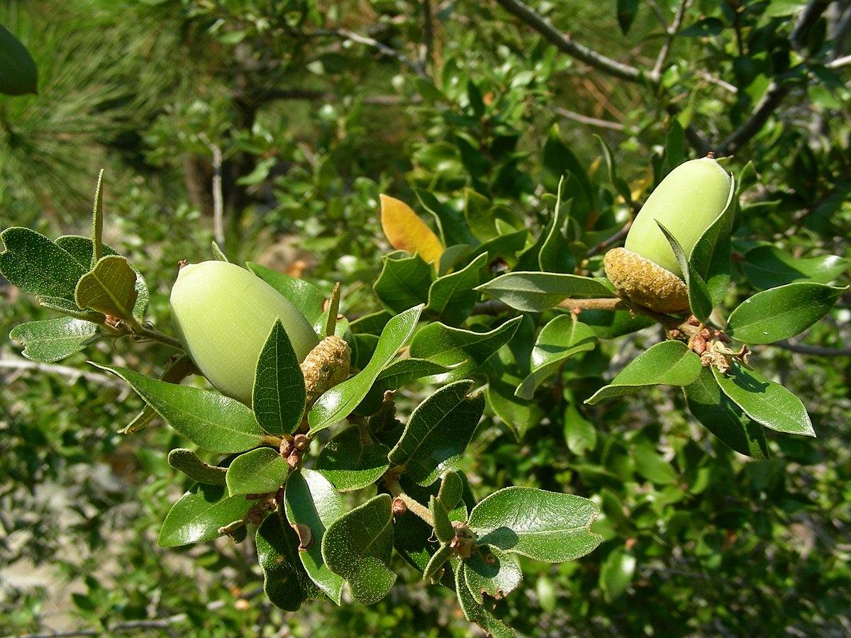 - Quercus chrysolepiscanyon live oak