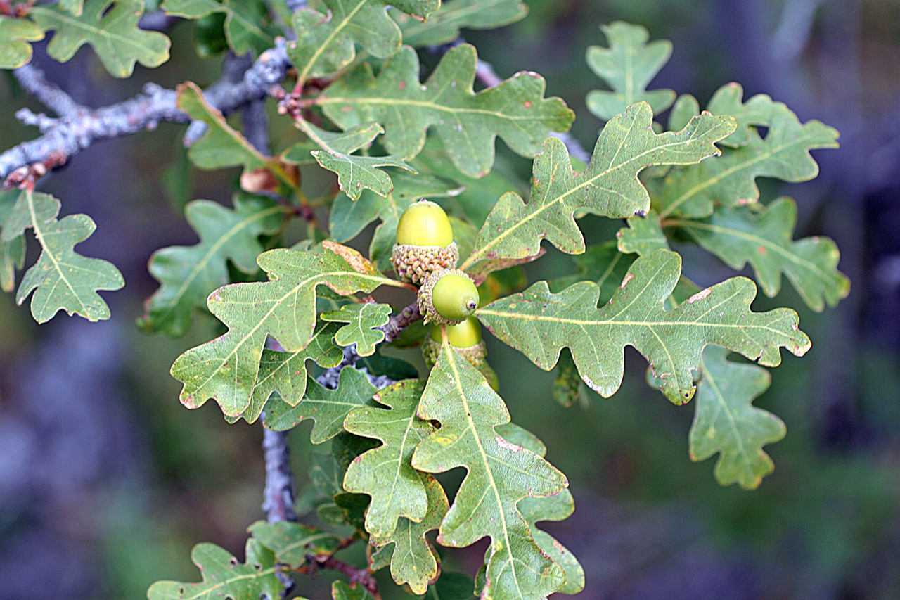 - quercus gambeliigambel oak