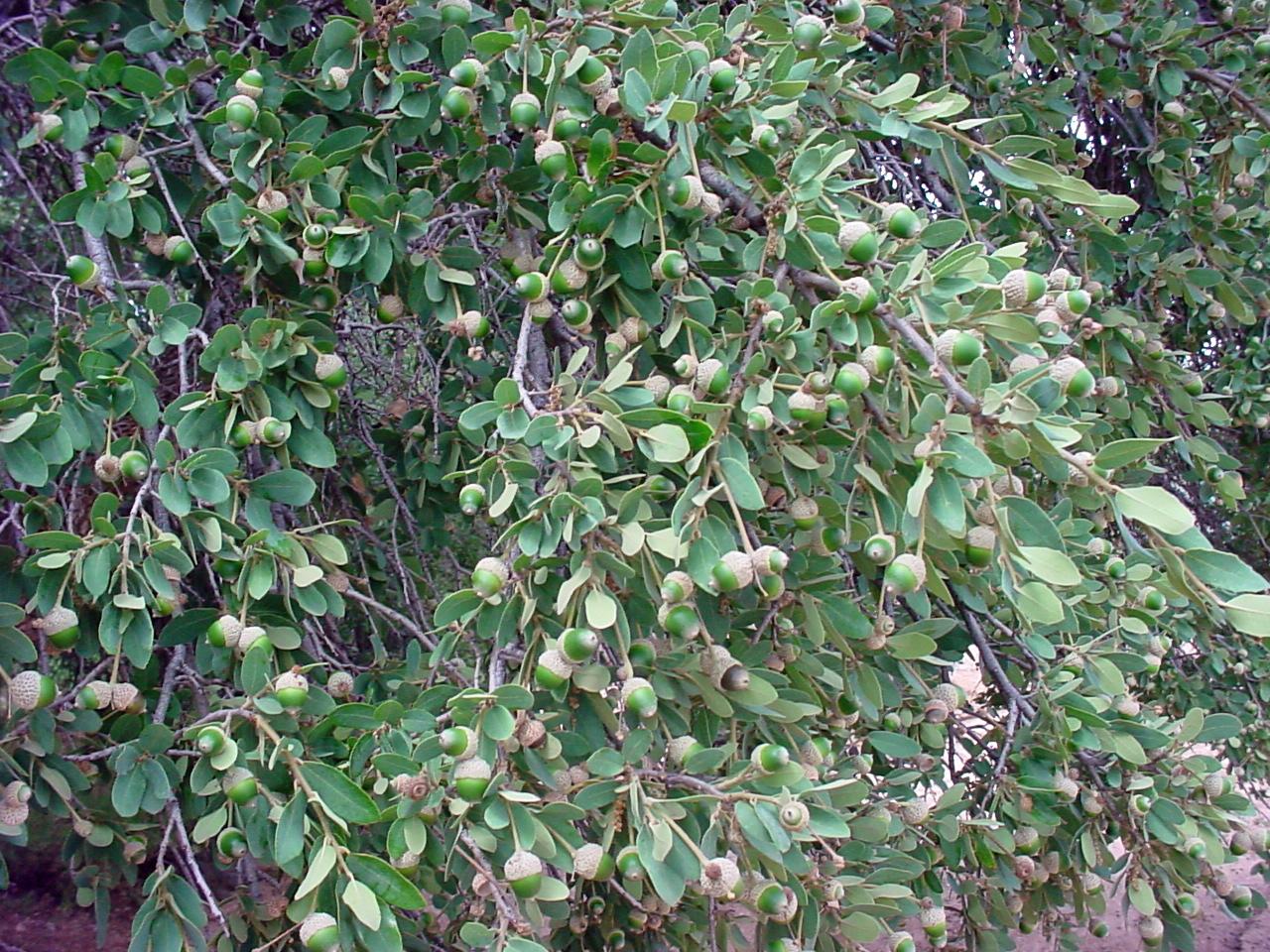 - quercus griseagrey oak