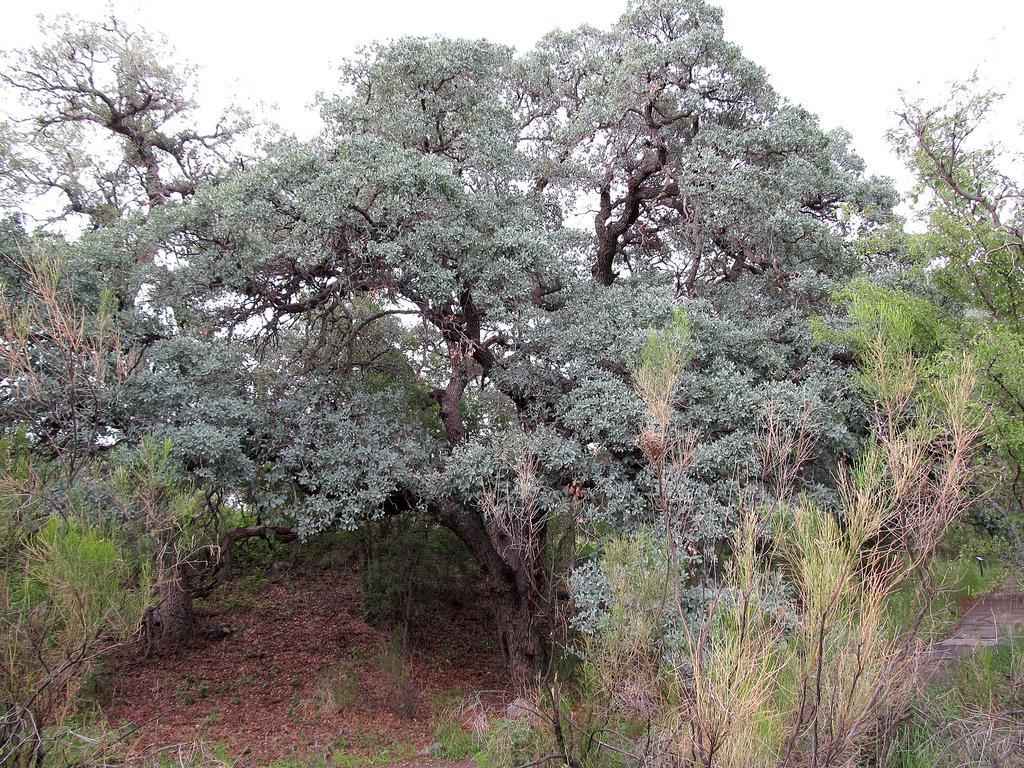 - Quercus oblongifoliaMexican blue oak