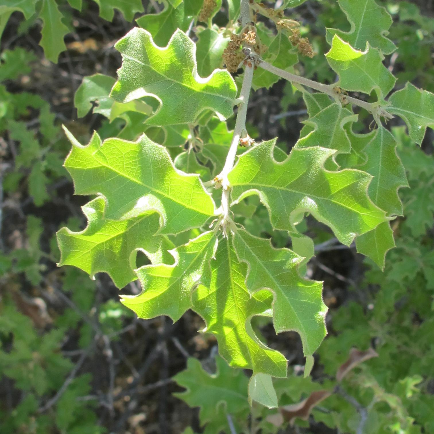 - Quercus pungenssandpaper oak