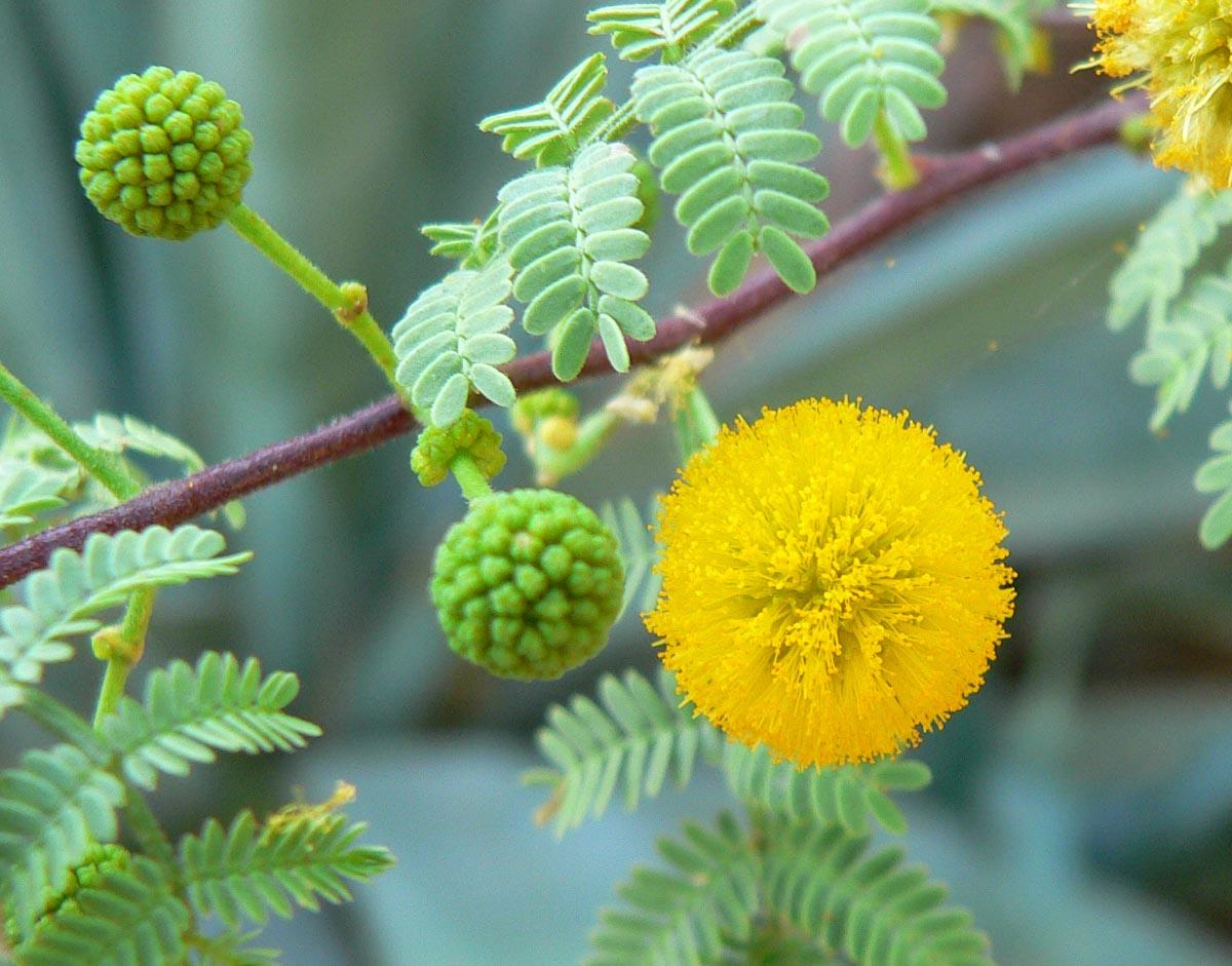 - Vachellia constrictawhite thorn acacia