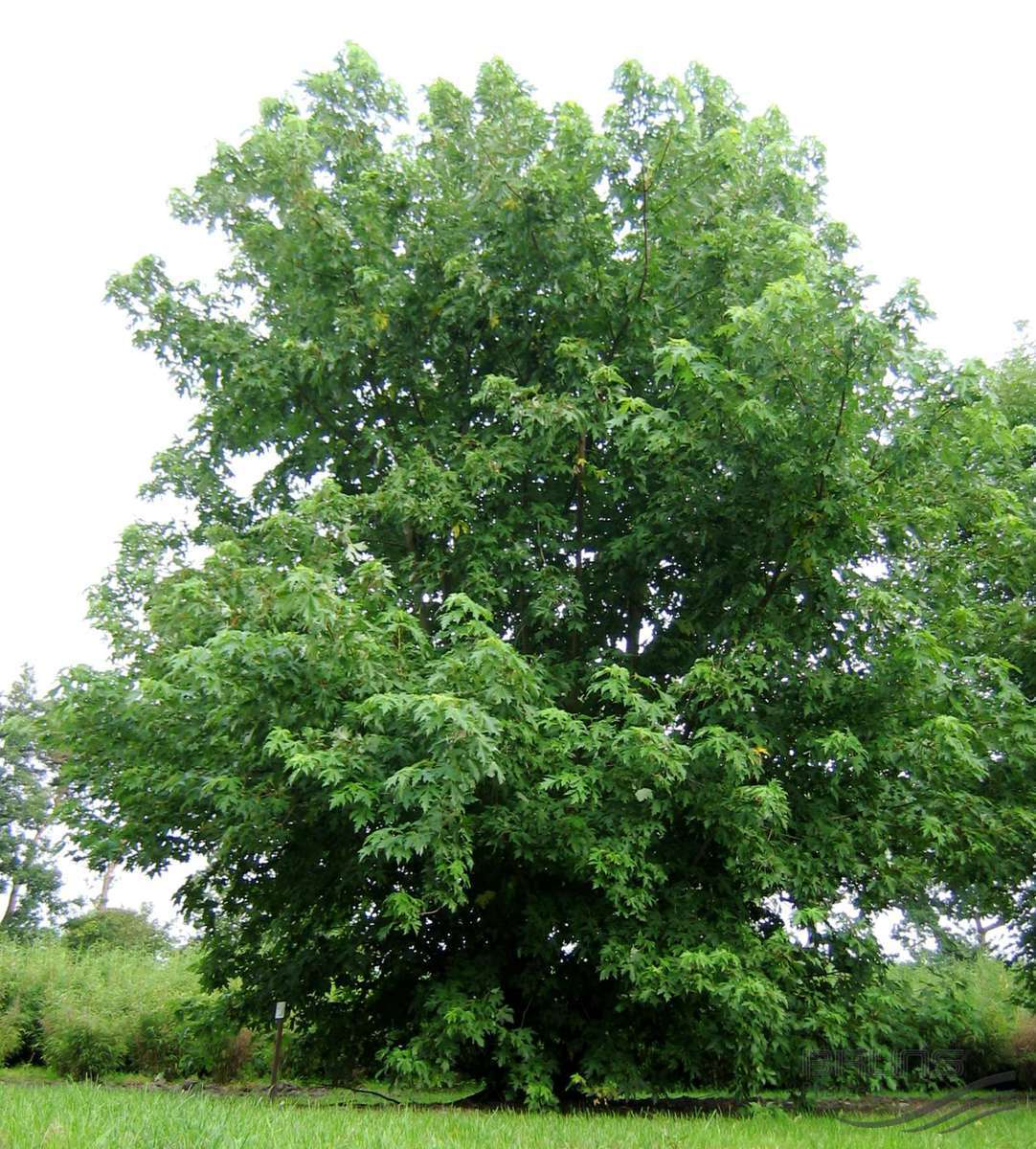 - Acer saccharinumsilver maple