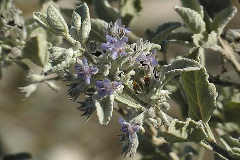 Desert Lavender : formally known as Hyptis emoryi, now Condea emoryi