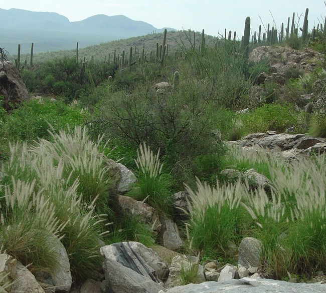 Fountain Grass (Pennisetum setaceum) growing in a wash in the Catalinas