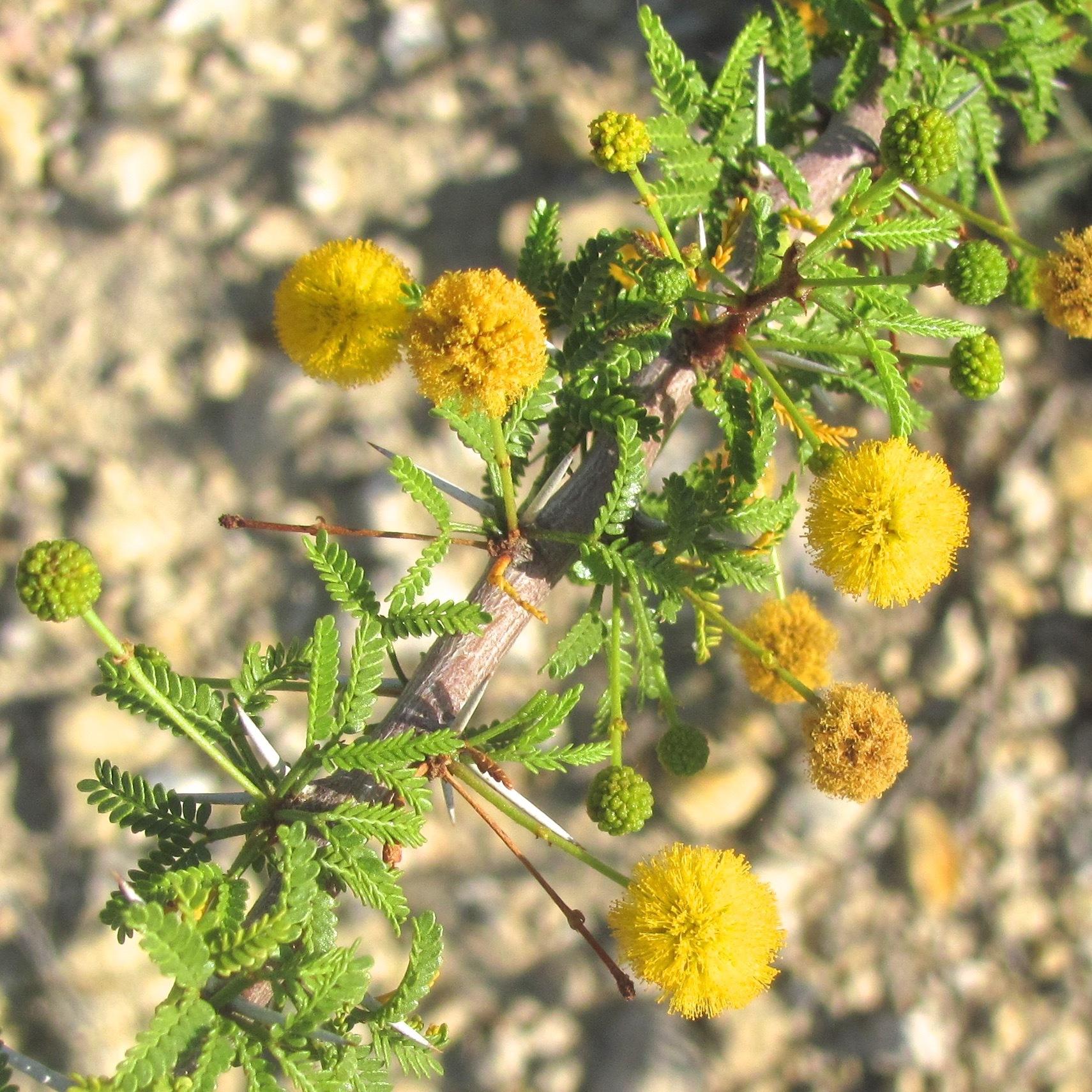 - vachellia vernicosaviscid acacia