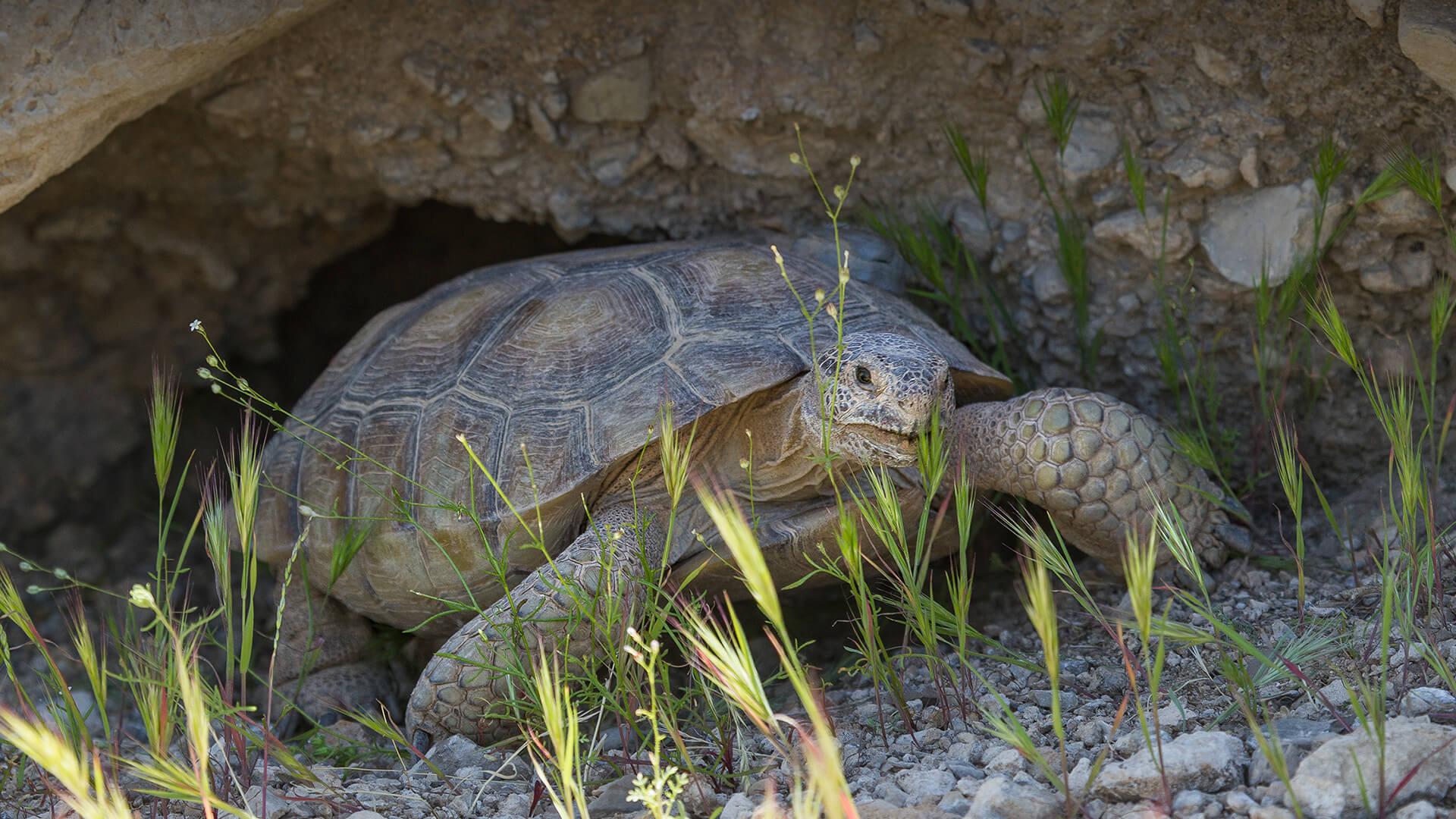 animals_hero_desert_tortoise.jpg