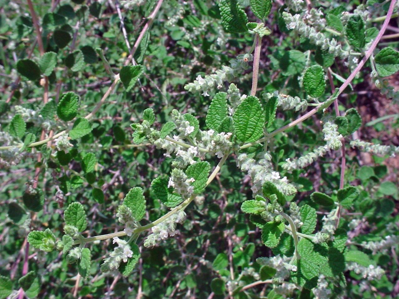 oreganillo(Aloysia wrightii) - Adult nectar plant.