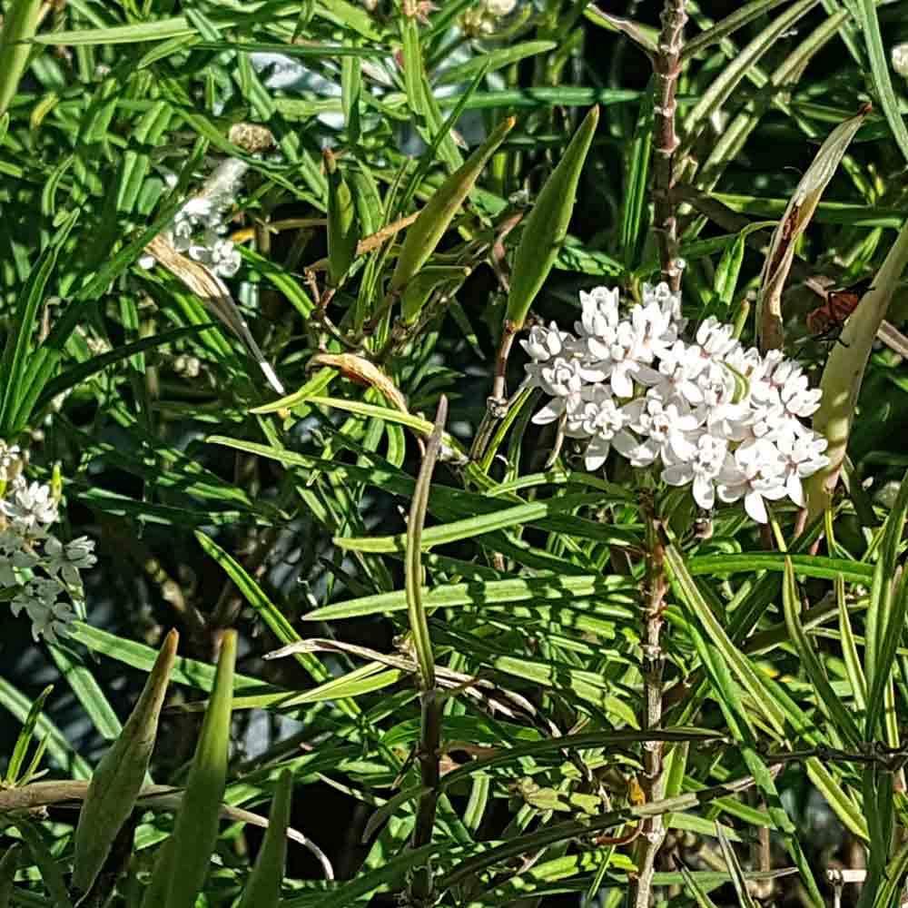 Arizona milkweed(asclepias angustifolia) - Adult nectar plant. Larval food plant for the Queen (Danaus gilippus) and the monarch (Danaus plexippus).