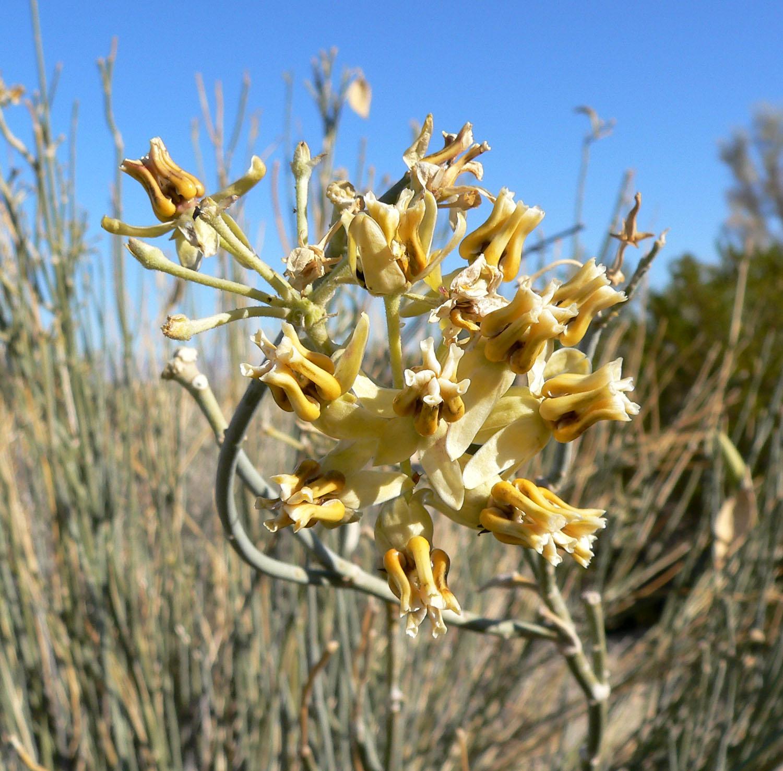 desert milkweed(asclepias subulata) - Adult nectar plant. Larval food plant for the Queen (Danaus gilippus) and the monarch (Danaus plexippus).