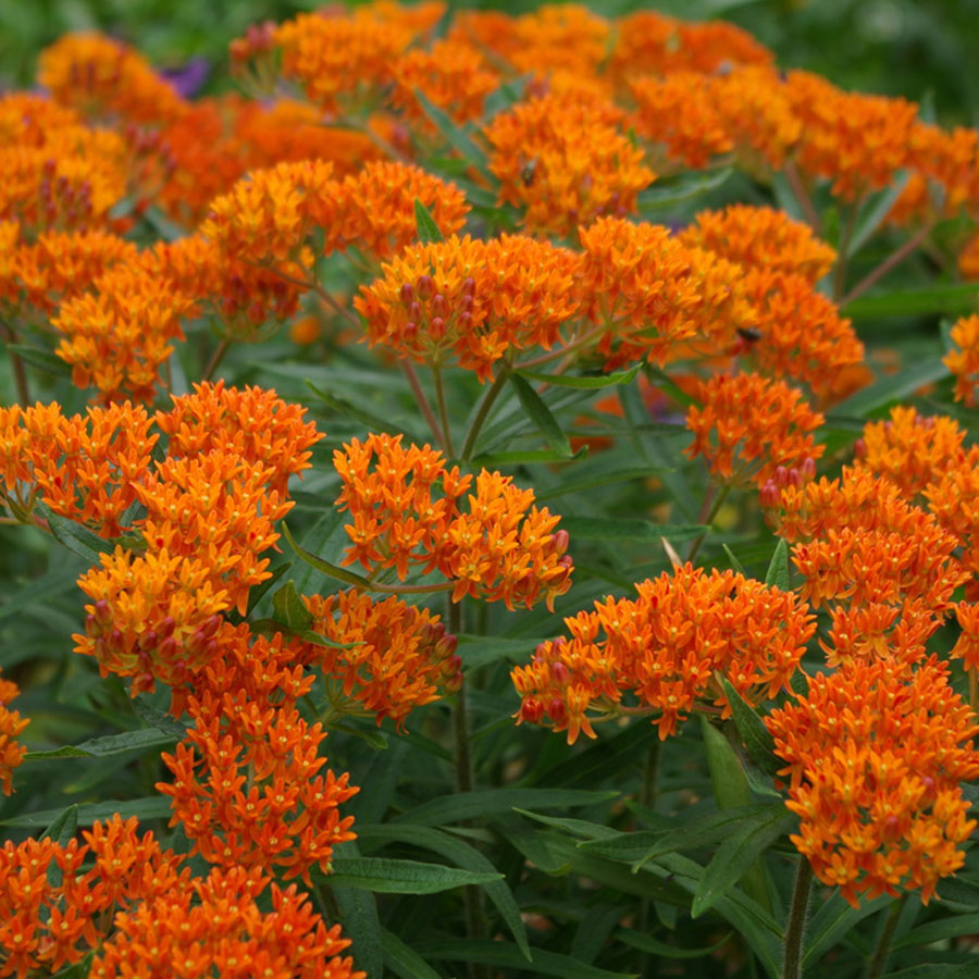butterfly weed(asclepias tuberosa) - Adult nectar plant. Larval food plant for the Queen (Danaus gilippus) and the monarch (Danaus plexippus).