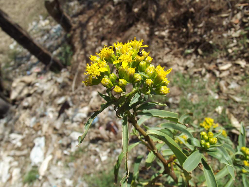 willow ragwort(Barkleyanthus salicifolius) - Great adult nectar plant. Larval food plant for American Lady (Vanessa virginiensis).