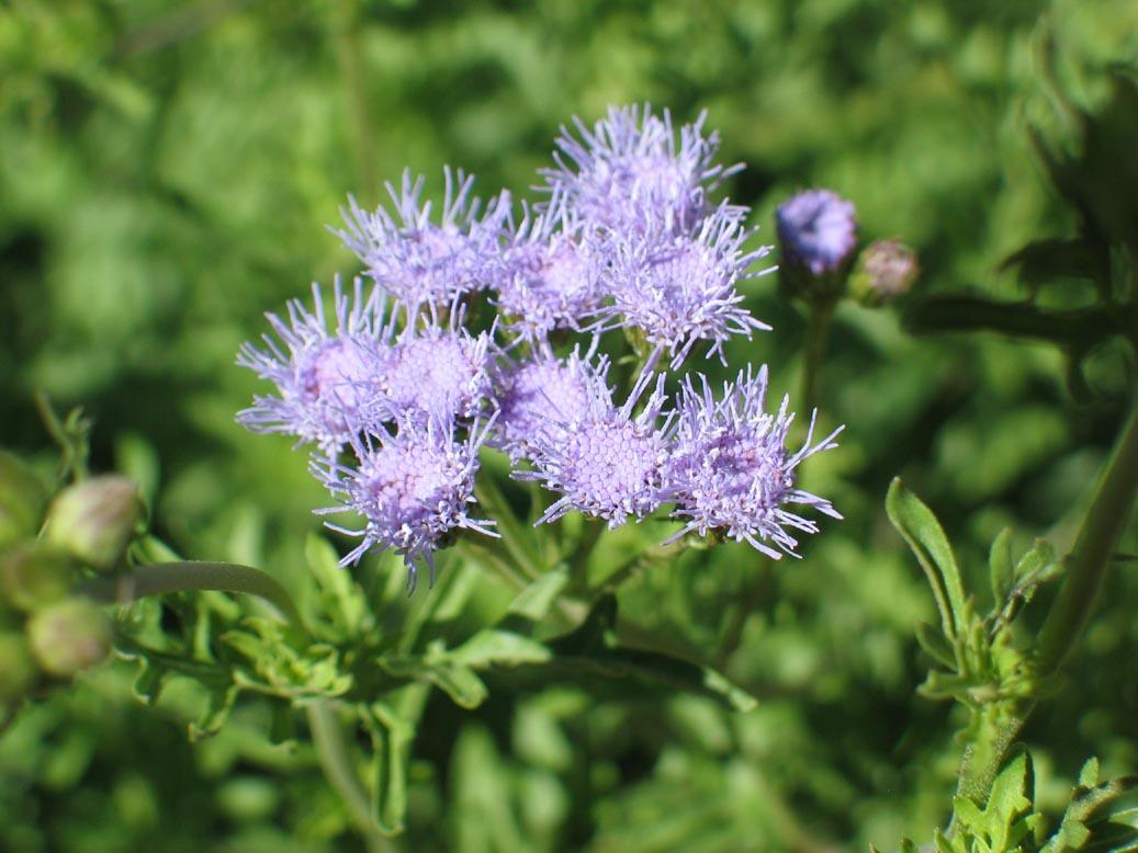 Blue Mist Flower(conoclinum species) - Several species. Adult nectar plant.