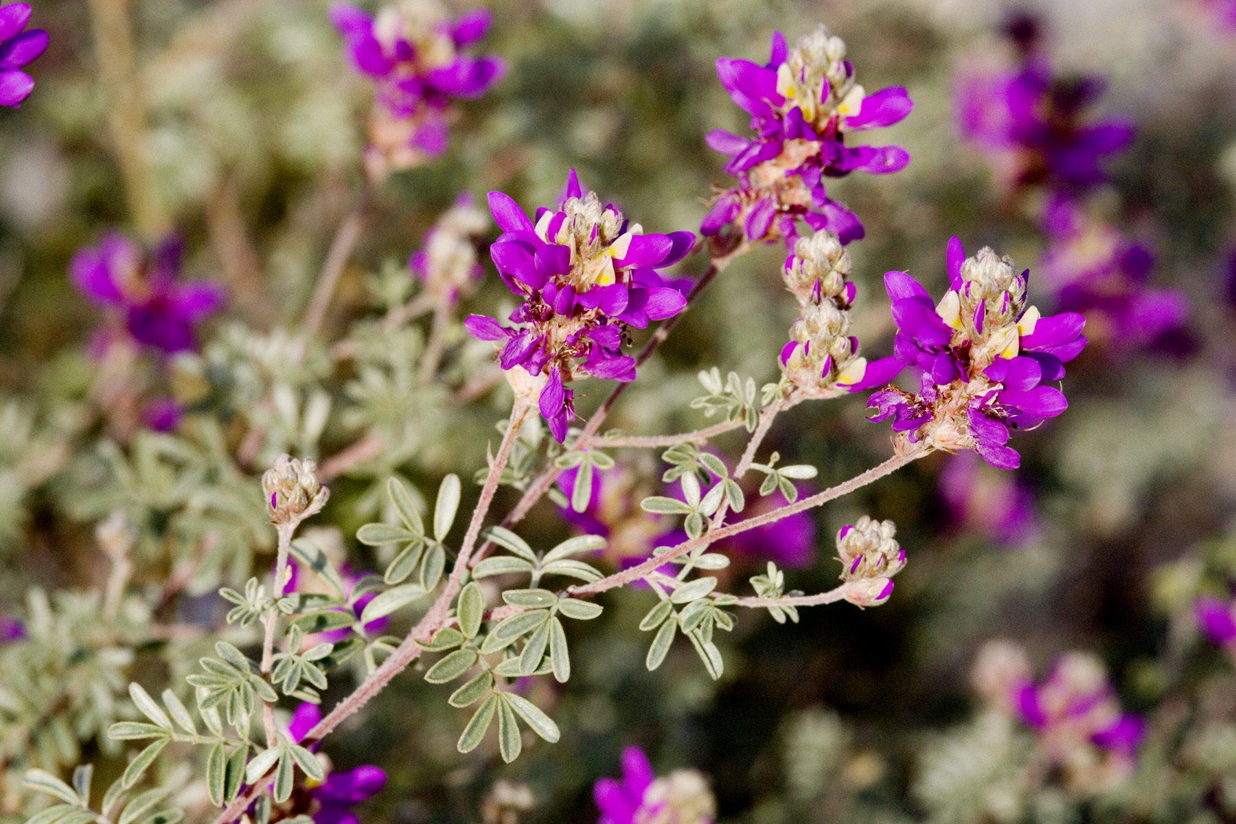Daleas(Dalea species) - Several Species. Dalea bicolor pictured. Adult nectar plants. Larval food plants for Reakirt's Blue (Hemiargus isola), Southern Dogface (Zerene cesonia), and Gray Hairstreak (Strymon melinus).