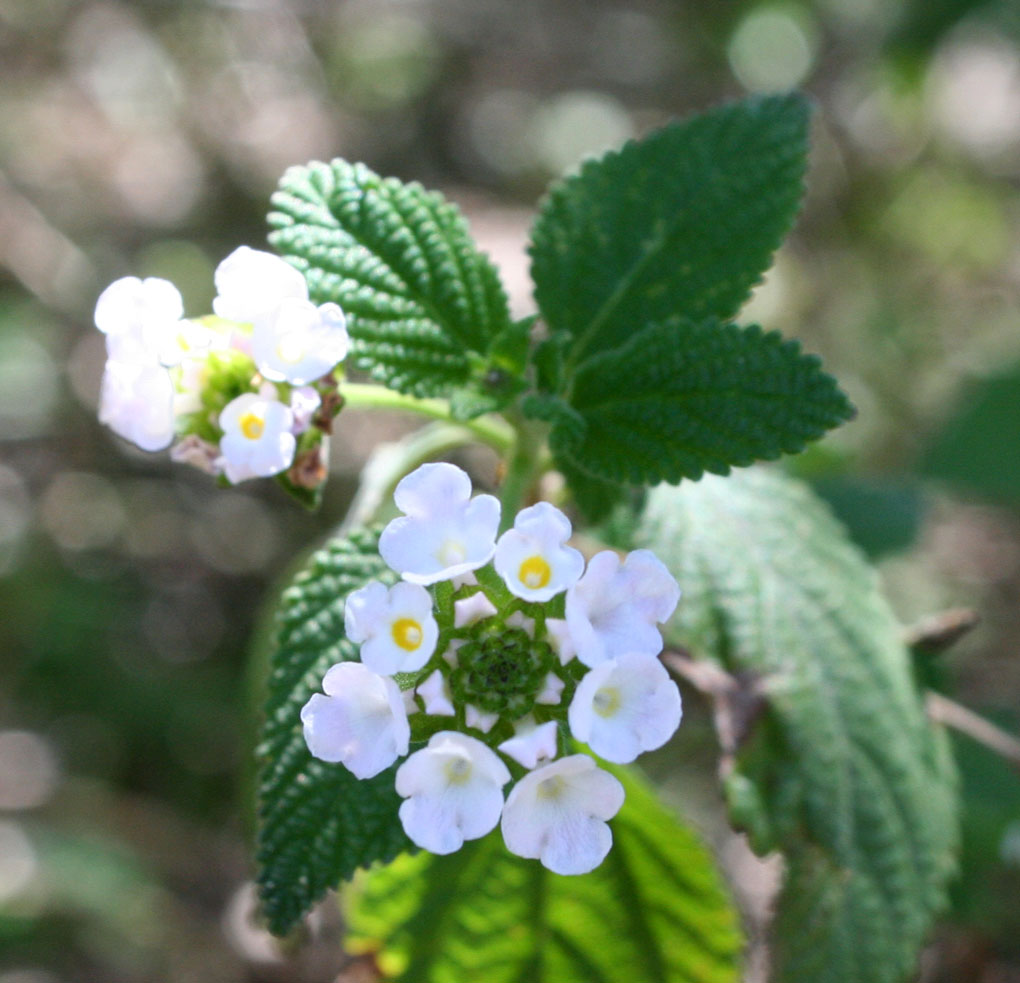 Lantana (Lantana species) - This is the native Lantana achyranthifolia (we are working to get this into cultivation in Arizona). But even the garden variety Lantana species are excellent butterfly nectar plants.