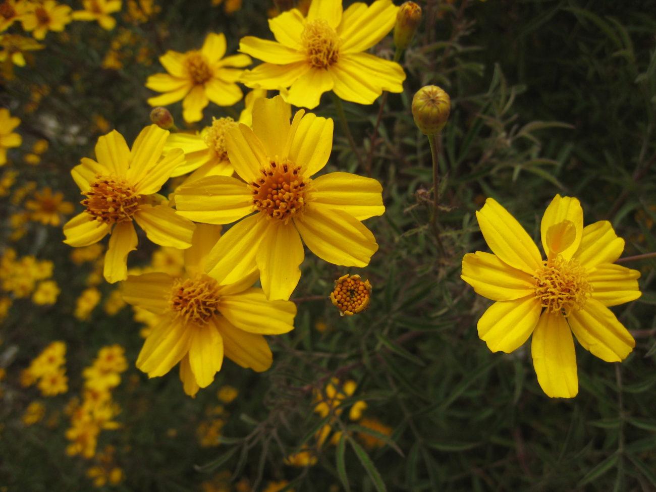 lemmon marigold(Tagetes lemmonii) - Excellent nectar plant.