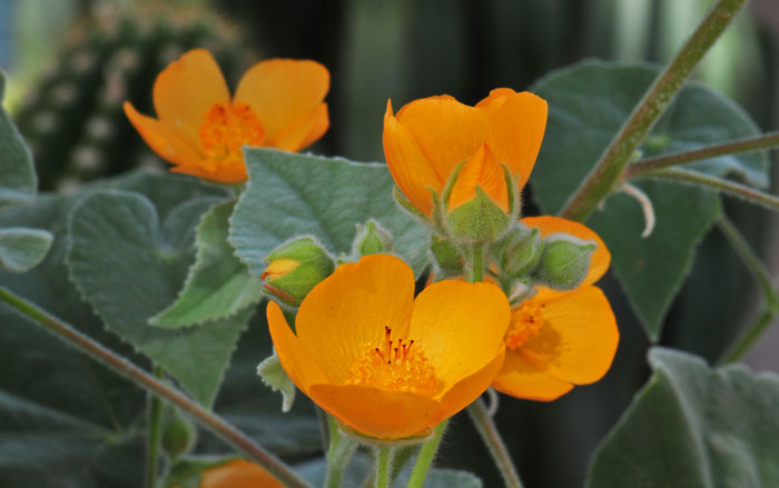 Desert Mallows(Abutilon species) - Abutilon palmeri pictured. Larval food plant for several skipper species of butterfly. Excellent nectar plant.