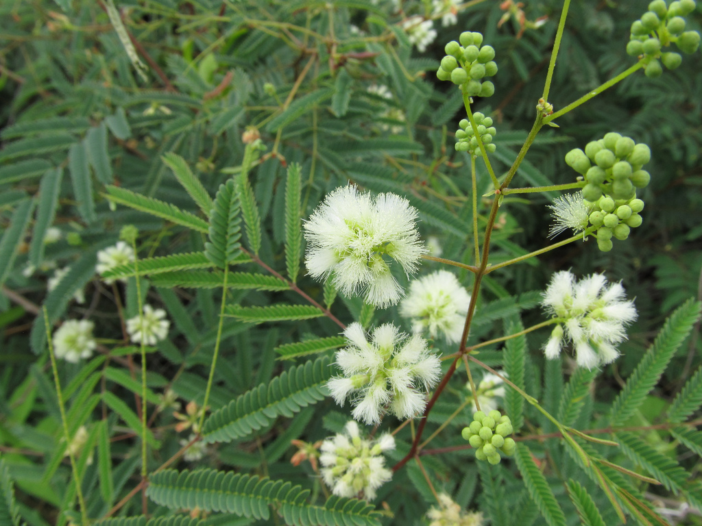 prairie acacia(Acaciella angustissima) - Great nectar plant. Larval food plant for MANY butterflies: several species of yellows, blues, and skippers.