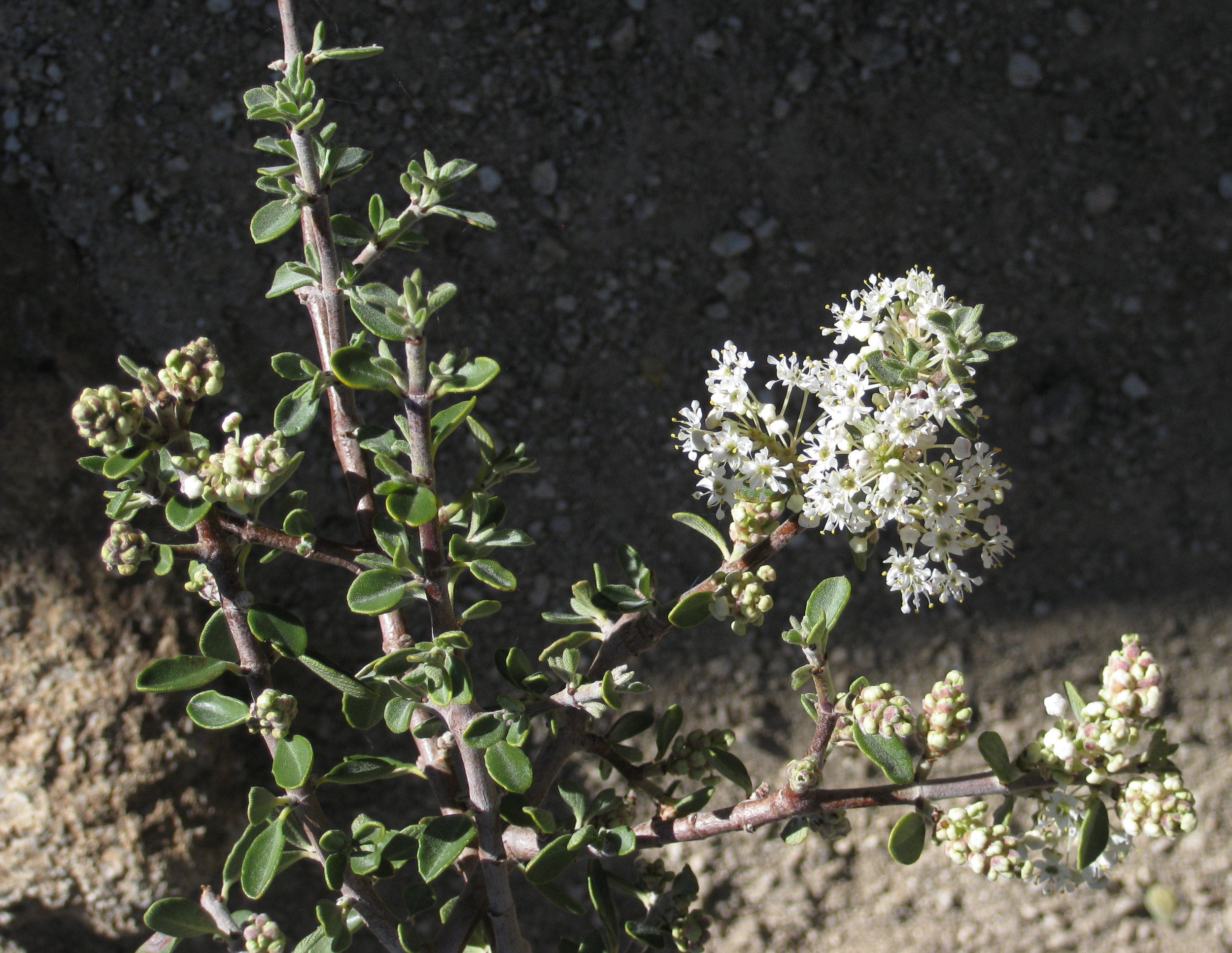 desert ceanoththus(ceanothus greggii) - Larval food plant for a mind boggling number of butterfly species. Excellent nectar plant.