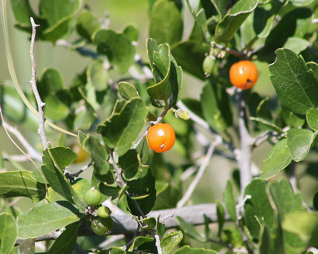 desert hackberry(Celtis eherenbergiana) - Nectar plant. Larval food plant for many species including the Empress Leilia (Asterocampa leilia). Also an excellent bird shrub.