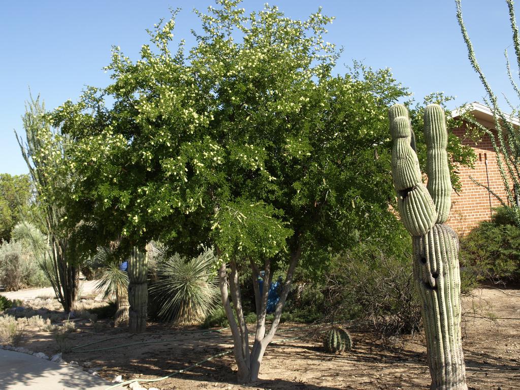 texas ebony(Ebenopsis ebano) - Larval food plant for the Ceraunus Blue (Hemiargus ceraunus) and the Orange Sulfur (Colias eurytheme).