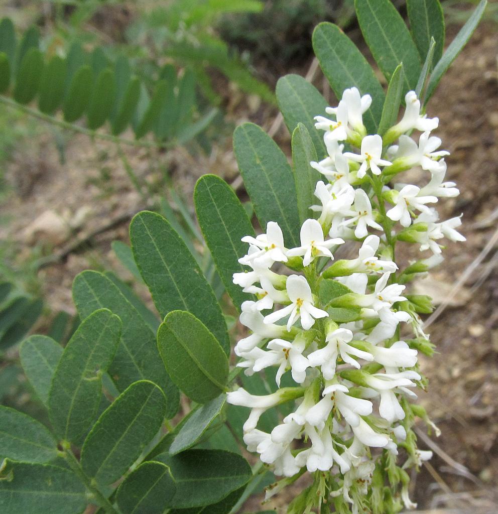 kidneywood(eysenhardtia orthocarpa) - Excellent nectar plant. Larval food plant for several butterflies including the Arizona Hairstreak (Erora quaderna).