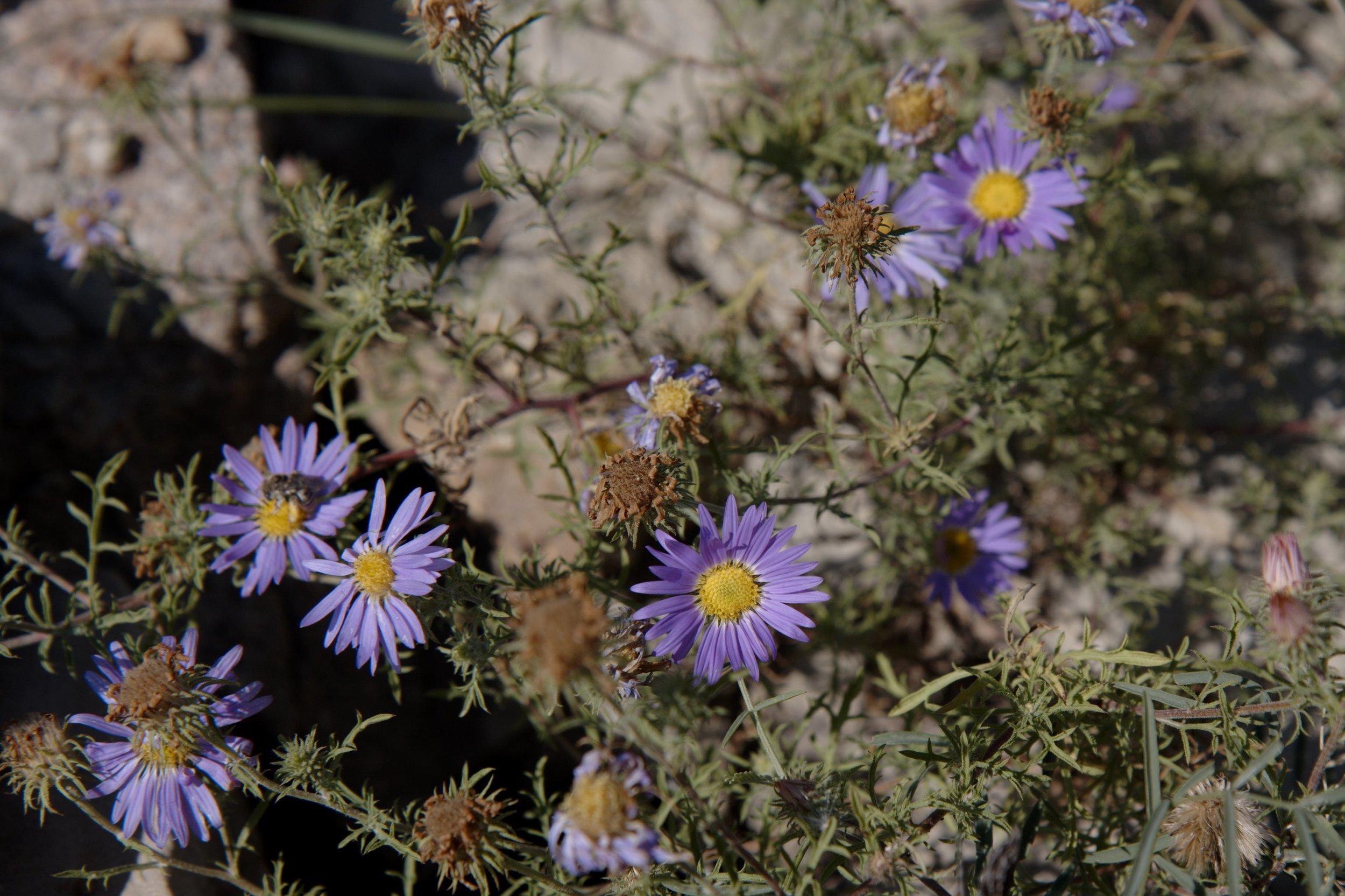 Takhoka Daisy(Machaeranthera tanacetifolia) - Nectar plant. Larval food plant for several butterfly species including the Sagebrush Checkerspot (Chlosyne acastus).