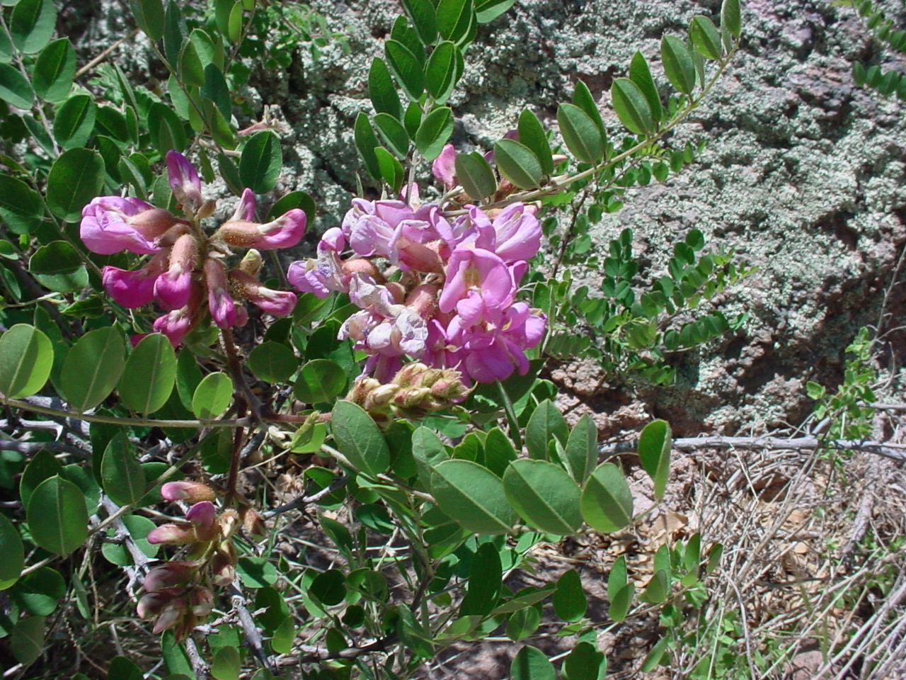 New Mexico Locust(Robinia neomexicana) - Nectar plant. Larval host for numerous species of butterflies.