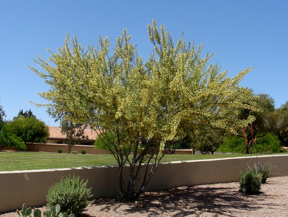 Catclaw Acacia(Senegalia greggii) - Great nectar plant. Larval host to several species of yellows and blues.