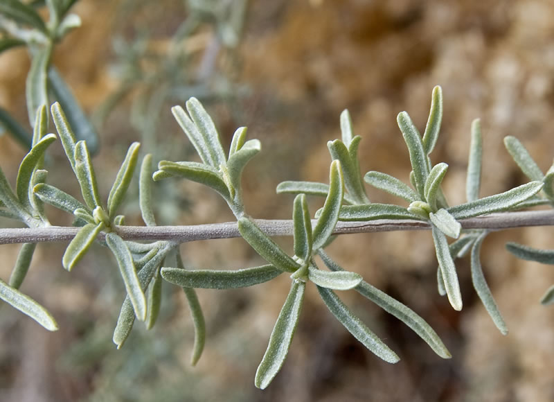 about 5 feet tall, almost double as wide. Hardy to at least 0 °F. - Atriplex CanescensFourwing saltbush