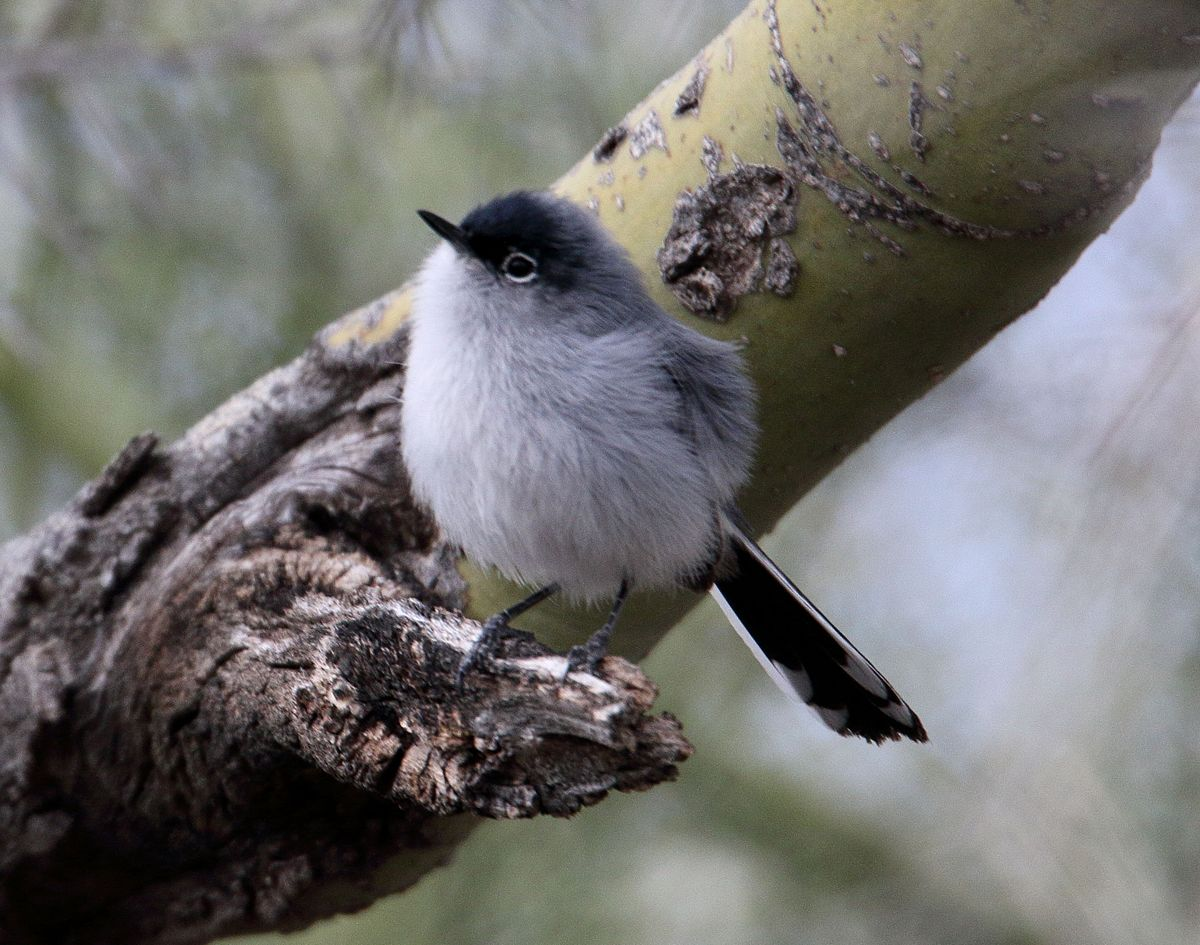 Black -tailed gnatcatcher on a foothills palo verde