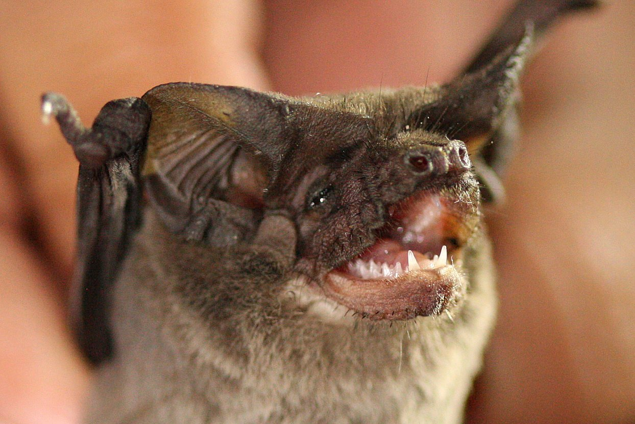 Mexican free-tailed bat - Tadarida brasiliensis