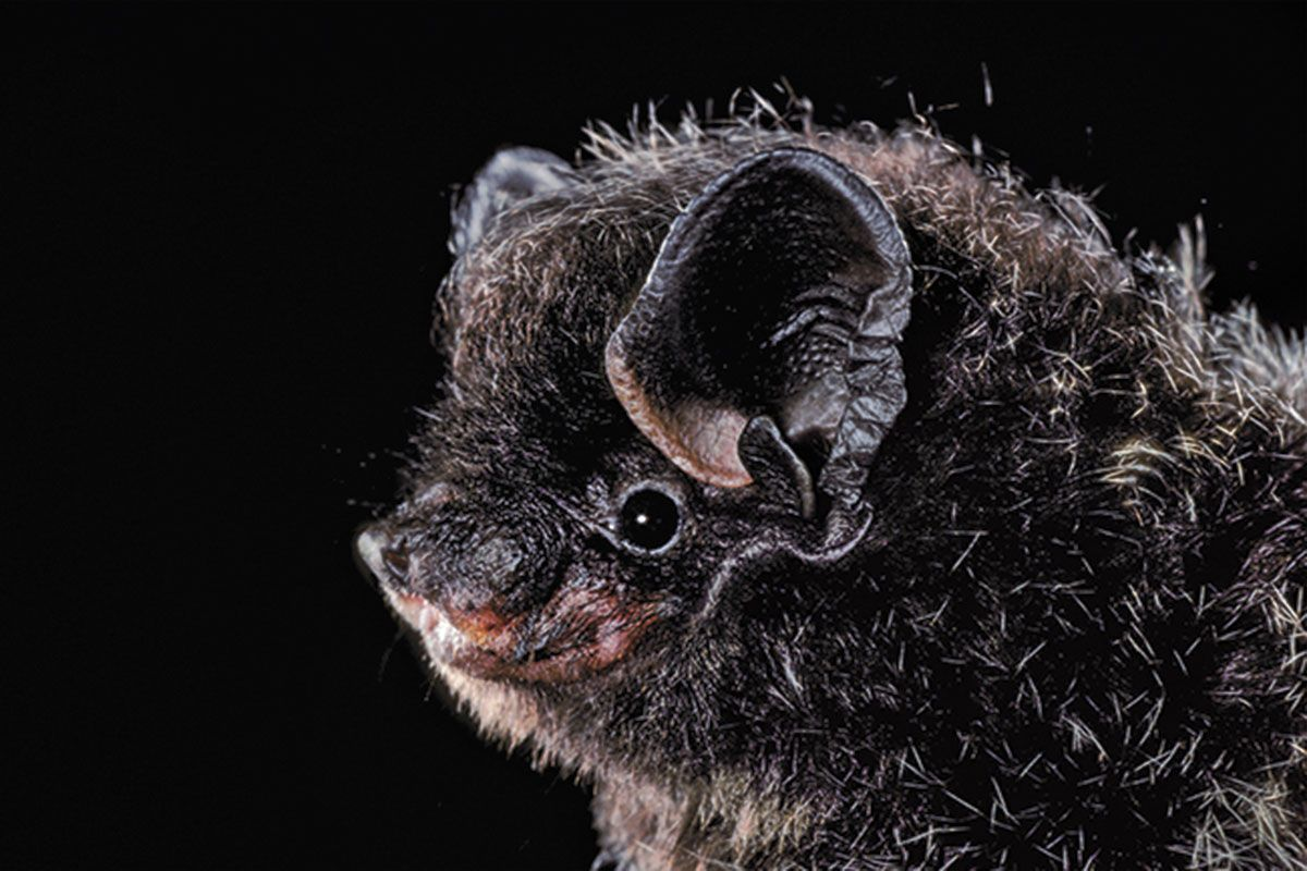 silvered-haired bat - Lasionycteris noctivagans