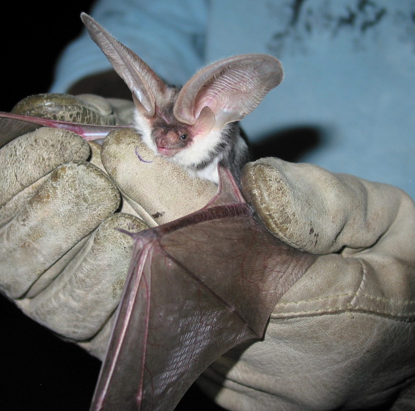 spotted bat - Euderma maculatum