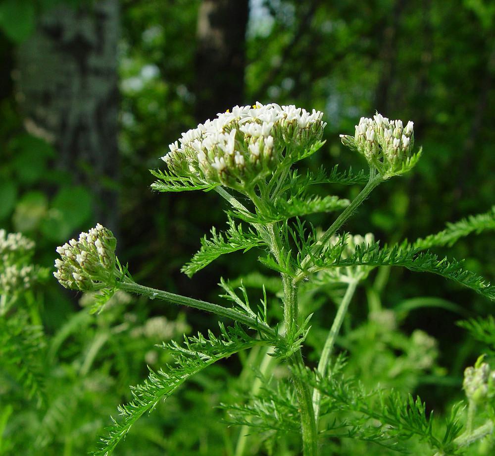 achillea-millefolium-lanulosa-ha-ahaines-a.jpg