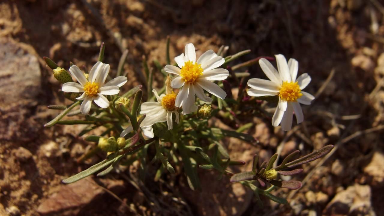 Sonoran pricklyleaf (Thymophylla concinna)
