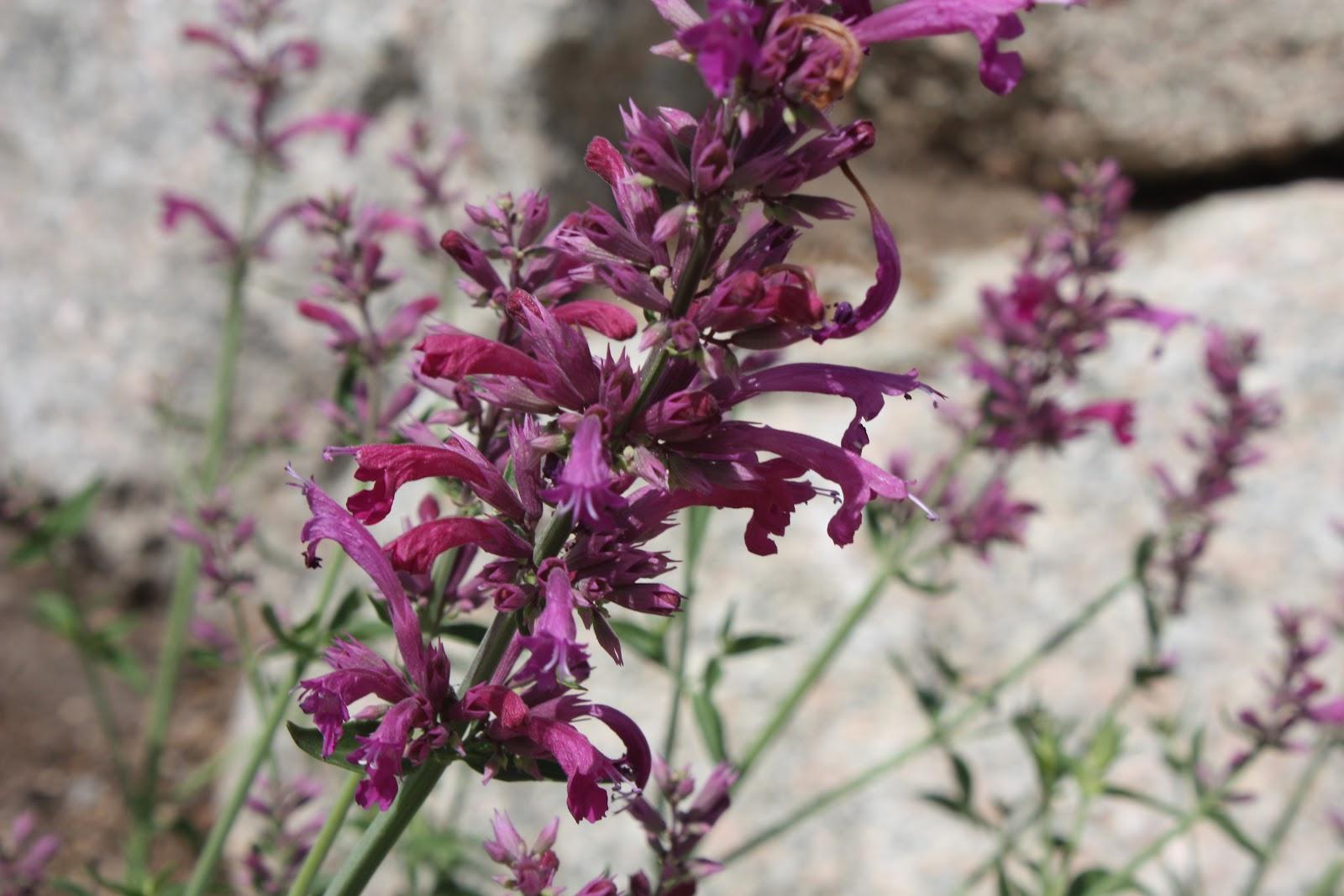 Texas hummingbird mint (Agastache cana)