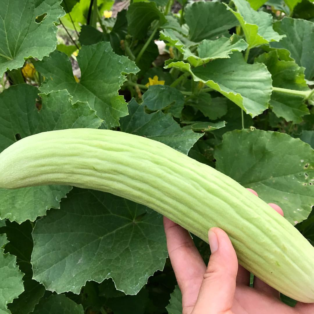 Cucumis melo var. flexuosus - Armenian Cucumber