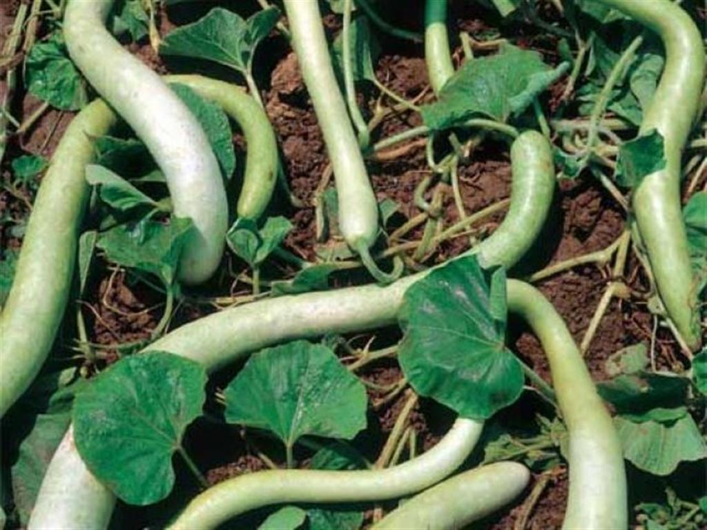 LAGENARIA VULGARIS - Serpente di Sicilia edible gourd