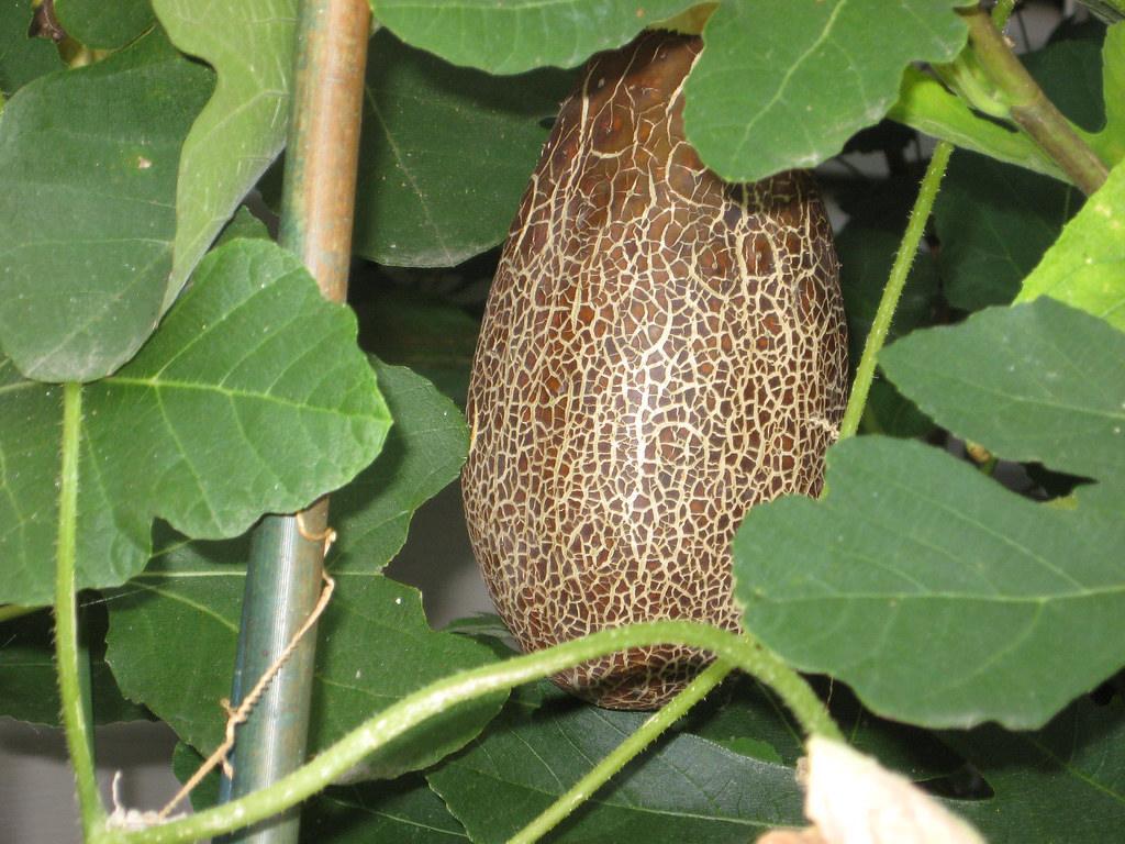 Cucumissativus - sikkim cucumber