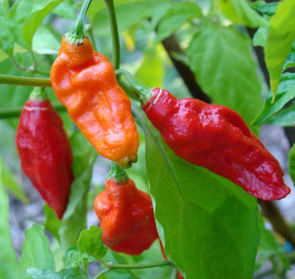 Capsicum chinense × Capsicum frutescens - Bhut Jolokia Pepper