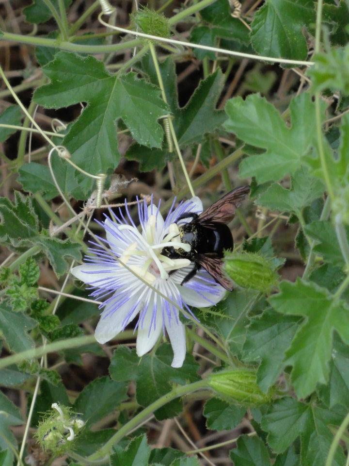 Passiflora arizonica and carpenter bee 2.jpg