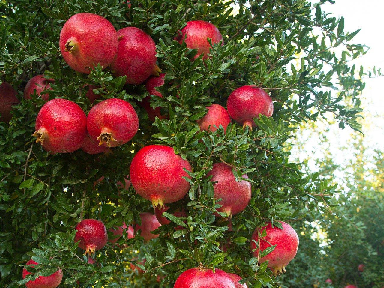 - Domestic Edible Plants