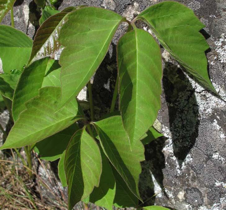 Western Poison Ivy (Rhus rydbergii)