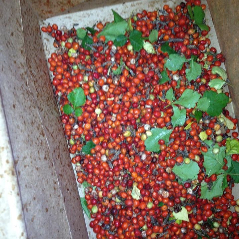 The fruits of fragrant sumac (Rhus aromatica)